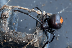 Analysis of spider venom reveals seven compounds with potential to relieve chronic pain