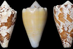 Compound from marine snails is potent pain reliever