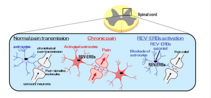 New target for chronic pain relief confirmed by scientists