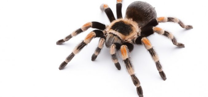 Spider venom key to pain relief without side-effects